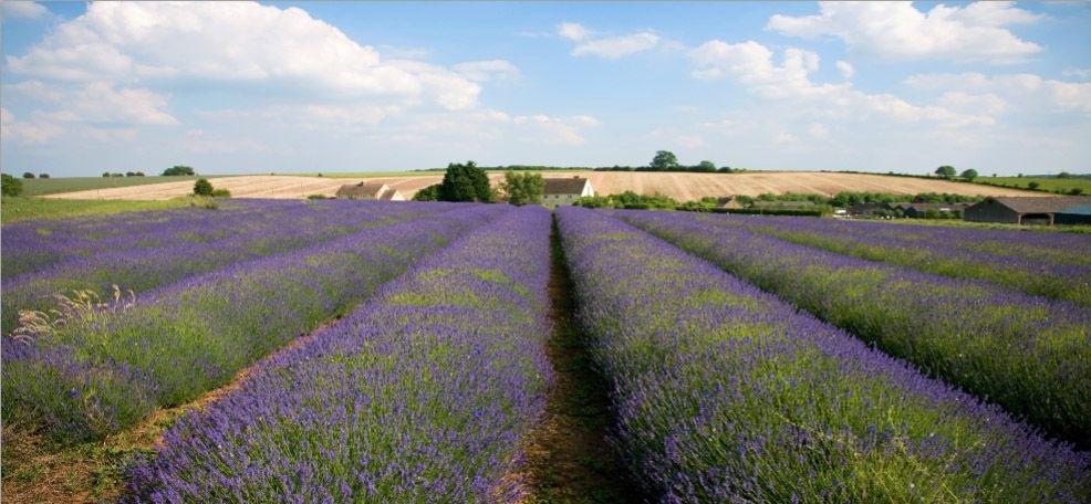 Haal de provence in uw tuin dit kan bij for Lavendelfelder provence