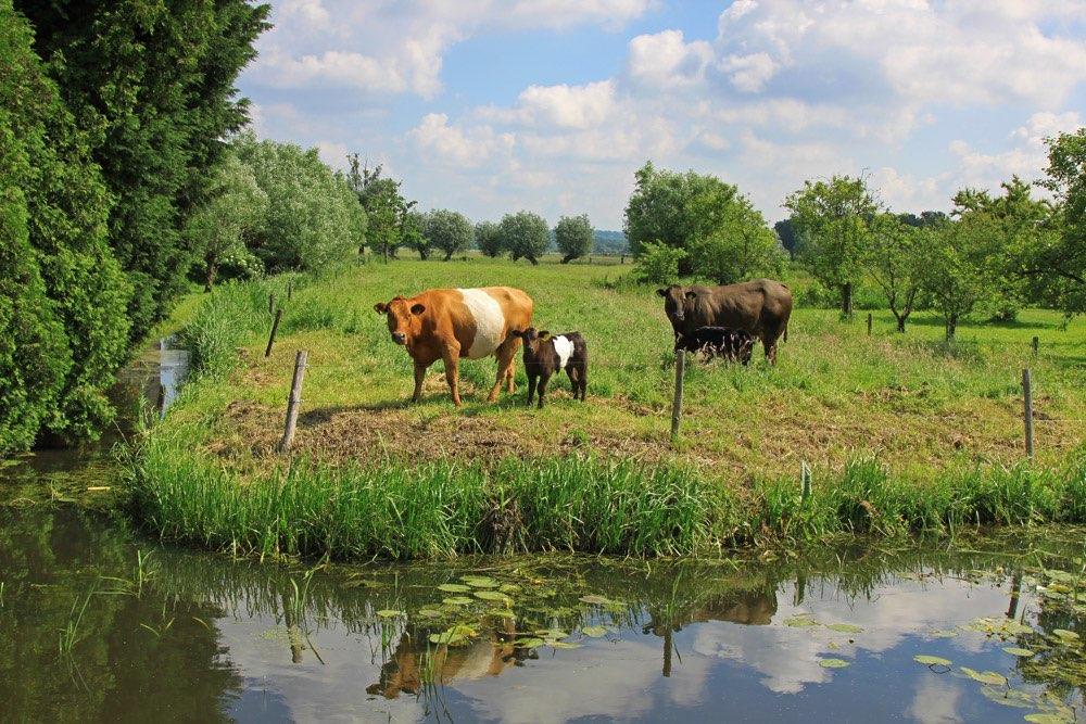 Koeien for Tuinposters intratuin