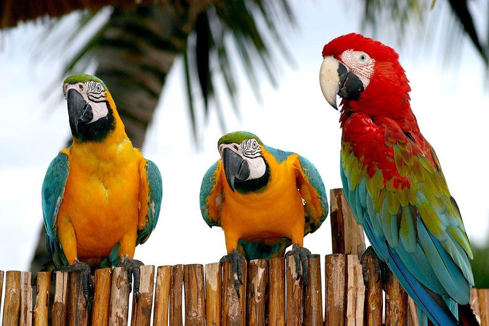 Drie papegaaien op een hek in de Caribbean
