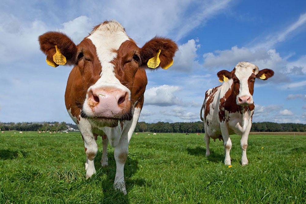 Afbeeldingsresultaat voor koeien