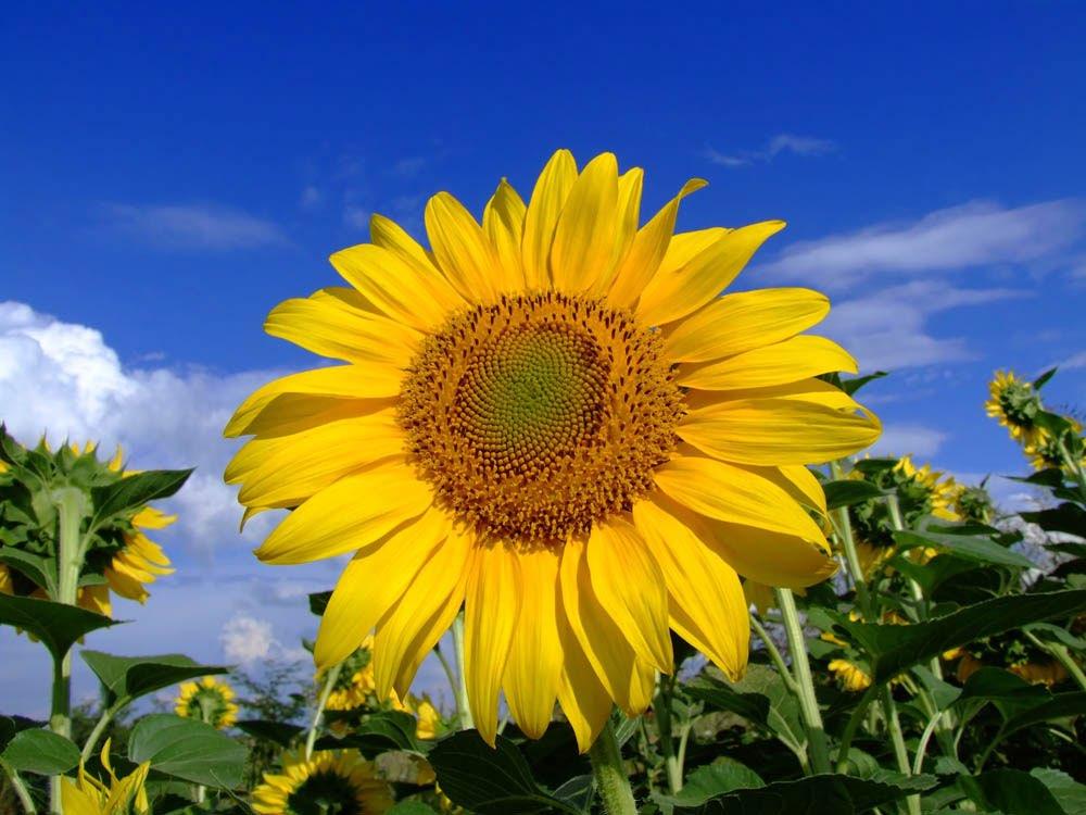 Zonnebloemen - Afbeelding in ...